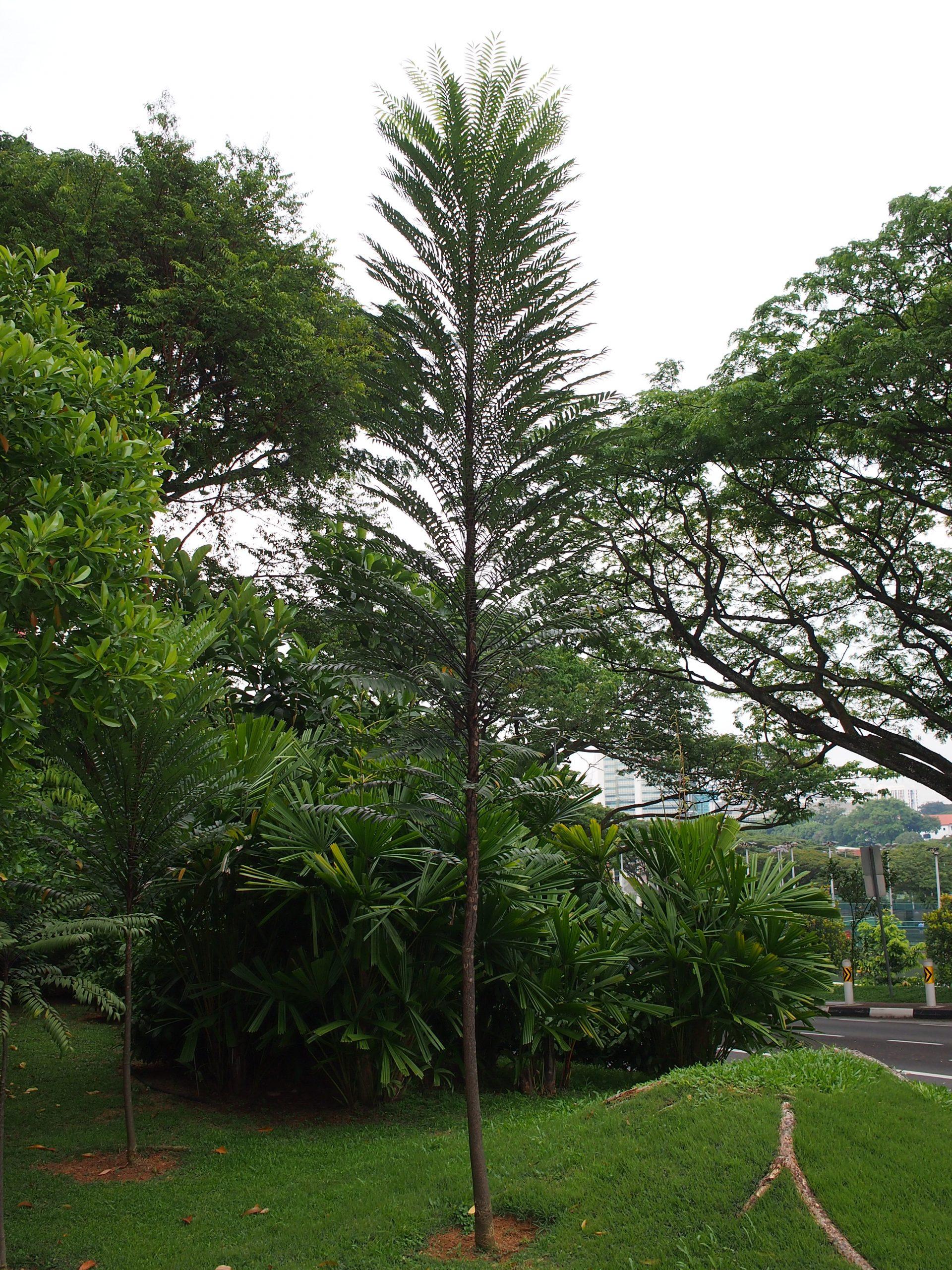 tongkat ali longifolia tree in Singapore